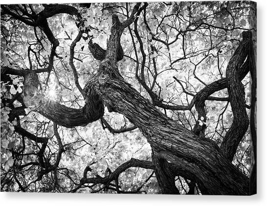 Ethereal Maple Canvas Print