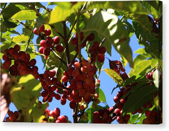 Coffee Plant Canvas Print - Ethiopian Coffee Beans by Aidan Moran
