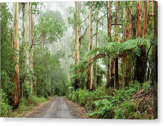 Great Otway National Park Canvas Print - Eucalyptus Forest by Christian Heeb