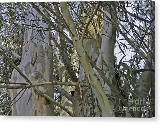 Eucalyptus Study Canvas Print