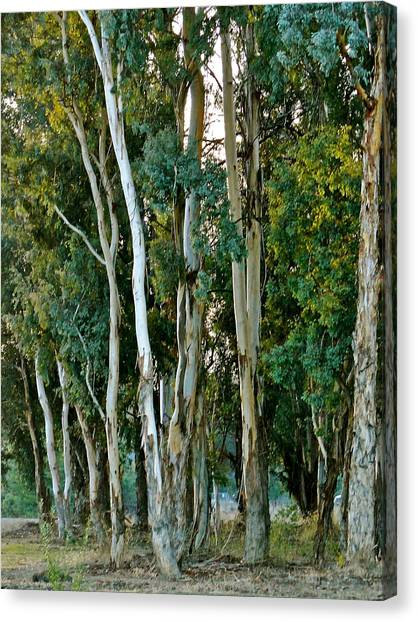 Eucalyptus Trees Canvas Print