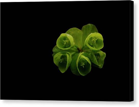Euphorbia Canvas Print