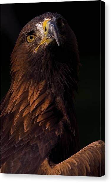 European Golden Eagle Canvas Print