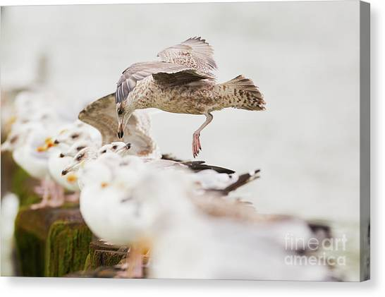 Canvas Print featuring the photograph European Herring Gulls In A Row, A Landing Bird Above Them by Nick Biemans