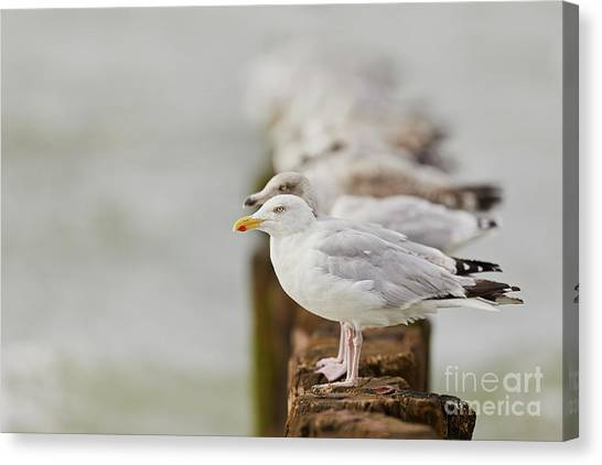 Canvas Print featuring the photograph European Herring Gulls In A Row Fading In The Background by Nick Biemans