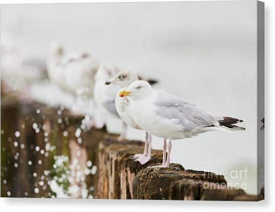 Canvas Print featuring the photograph European Herring Gulls In A Row  by Nick Biemans