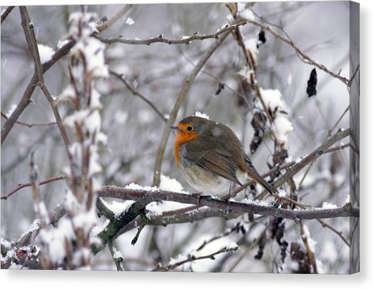 European Robin In The Snow At Christmas Canvas Print