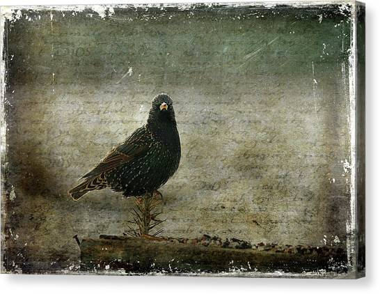 Starlings Canvas Print - European Starling by Cindi Ressler