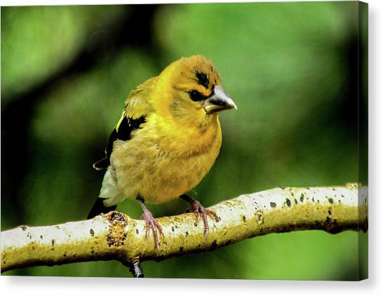 Evening Grosbeak Baby Canvas Print
