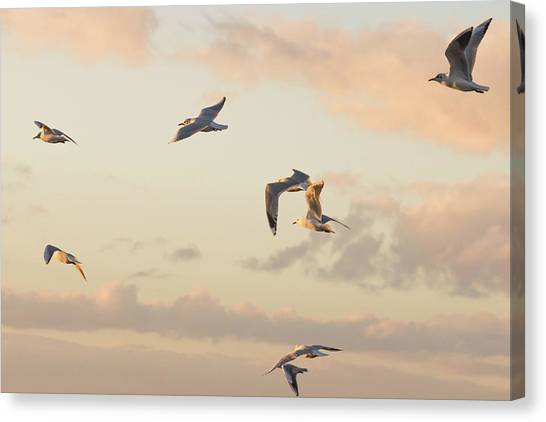 Evening Gulls Canvas Print
