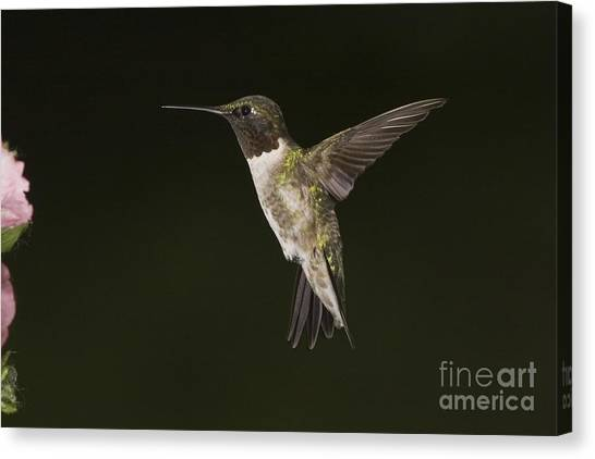 Evening Hummer Canvas Print by Michael Greiner