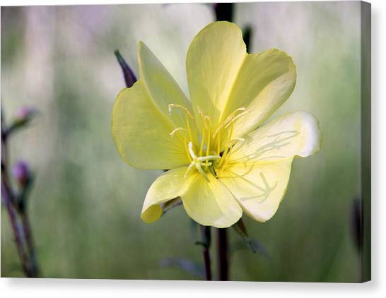 Evening Primrose In The Morning Canvas Print by MH Ramona Swift