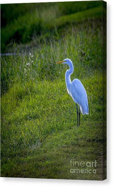 Great Cypress Canvas Print - Evening Search by Marvin Spates
