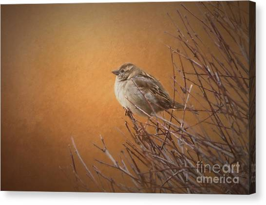 Evening Sparrow Song Canvas Print