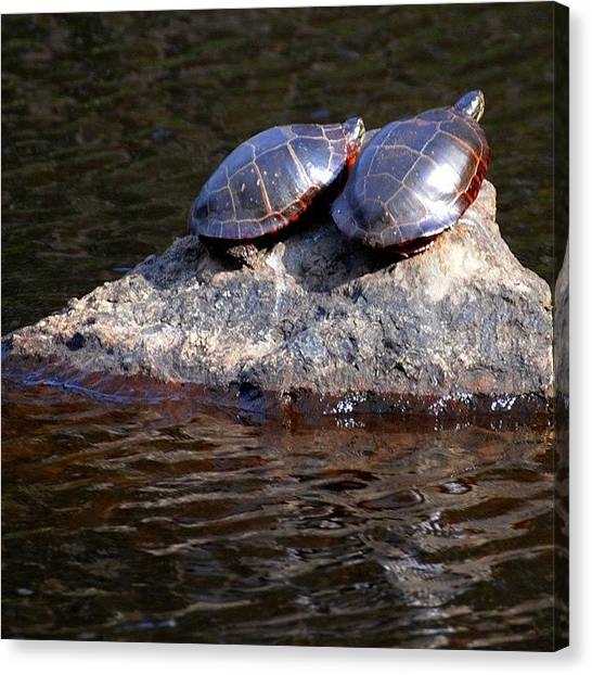 Tortoises Canvas Print - Every One And Everything Is Happy To by Kerri Ann Crau