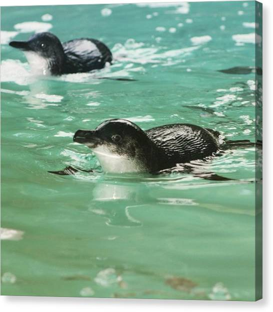 Penguins Canvas Print -  Little Penguin by Cat Penaluna