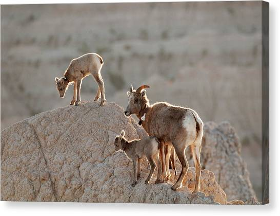 Black-footed Ferret Canvas Print - Ewe And Twins by Sharon Goldsboro