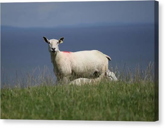 Ewe Guarding Lamb Canvas Print