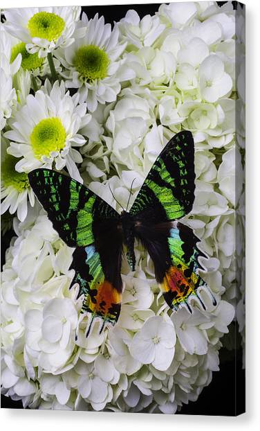 Pom-pom Canvas Print - Exotic Green Butterfly by Garry Gay
