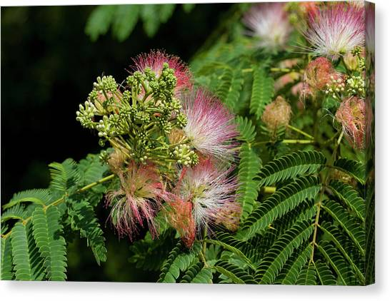 Fuzzy tree canvas prints page 20 of 20 fine art america fuzzy tree canvas print exotic loveliness in pink by kathy clark mightylinksfo