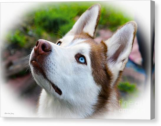 Expressive Siberian  Husky Photo C62017 Canvas Print
