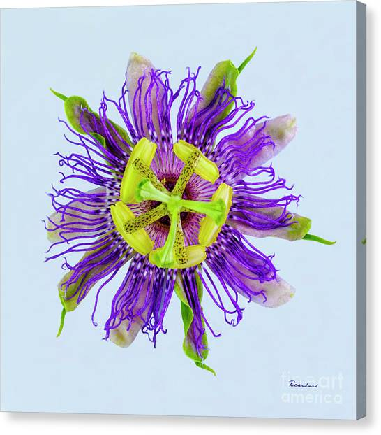 Expressive Yellow Green And Violet Passion Flower 50674b Canvas Print