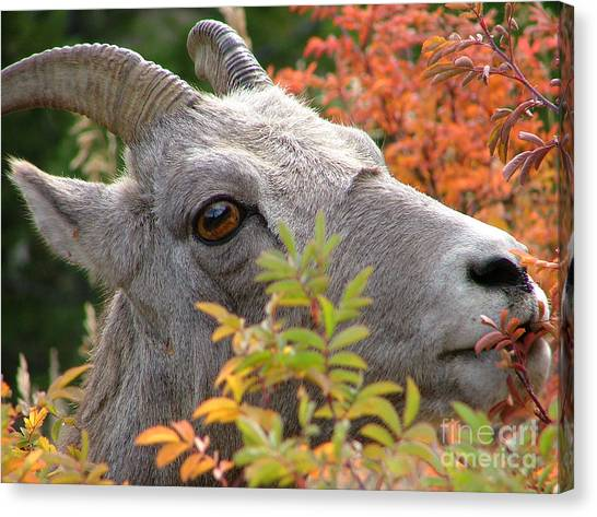 Eye On Ewe Canvas Print