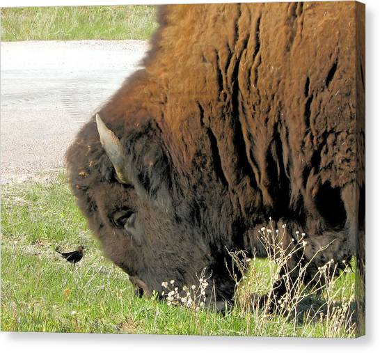 Eye To Eye Bison And Bird Canvas Print by Marion Muhm