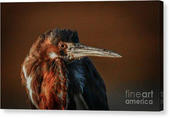 Eye To Eye With Heron Canvas Print