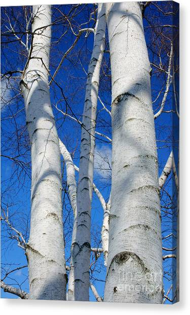 Eyes Of Birch Canvas Print