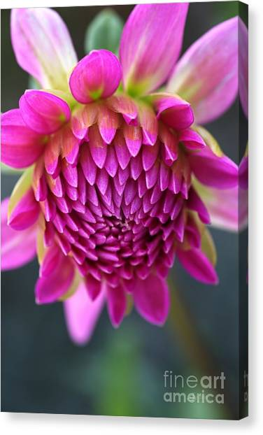 Face Of Dahlia Canvas Print