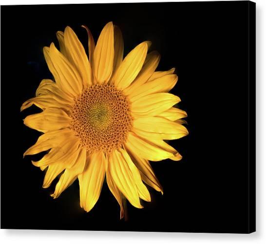 Fading Sunflower Canvas Print