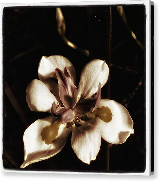 Canvas Print featuring the photograph Fairy Iris. A Butterfly Landed On My by Mr Photojimsf