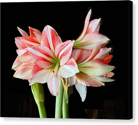 Fairyland Amaryllis  Canvas Print