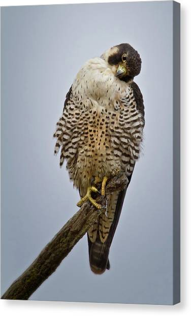Falcon With Cocked Head Canvas Print