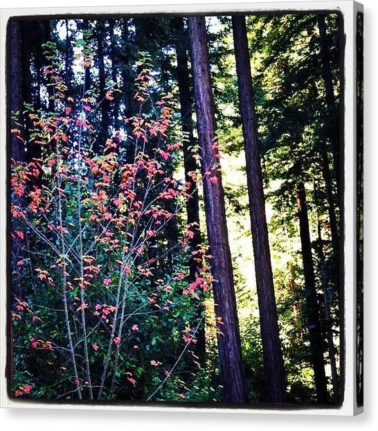 Redwood Forest Canvas Print - Fall Among The Redwoods by Amy Beam