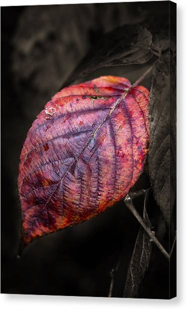 Fall Beech Leaf Canvas Print