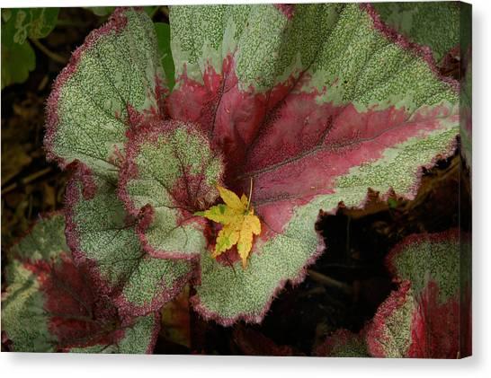 Fall Begonia Canvas Print