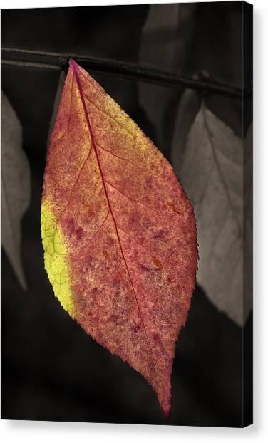 Fall Elder Leaf Canvas Print
