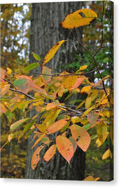 Fall Foliage Canvas Print by JAMART Photography
