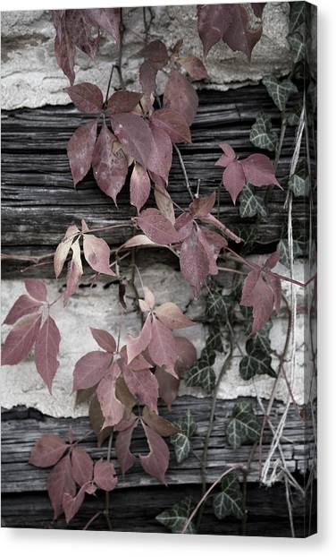 Fall Ivy Canvas Print