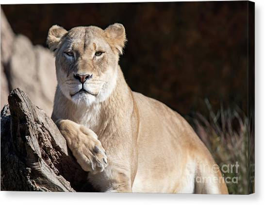 Fall Lioness Canvas Print