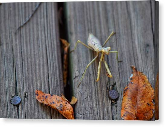Fall Mantis  Canvas Print