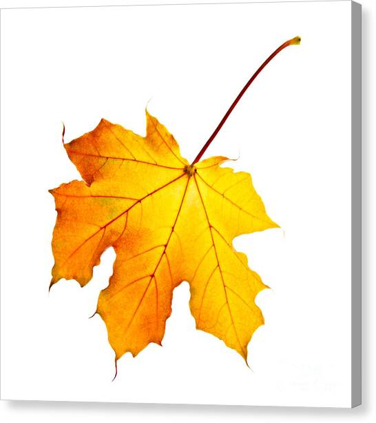 Orange Tree Canvas Print - Fall Maple Leaf by Elena Elisseeva