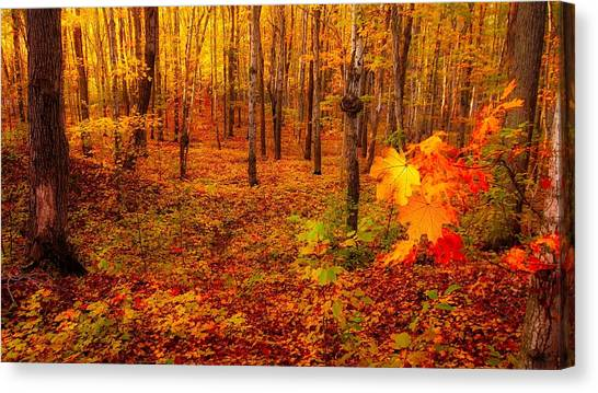 Fall Sugar Bush Canvas Print