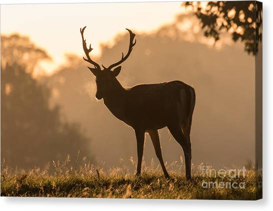 Fallow Deer At Sunrise Canvas Print