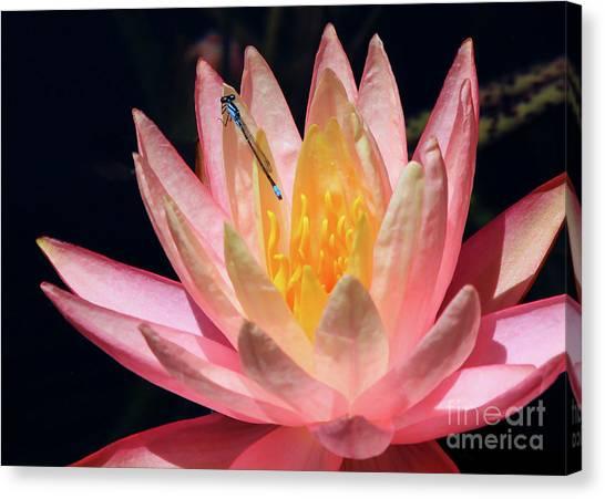 Familiar Bluet Damselfly And Lotus 2 Canvas Print