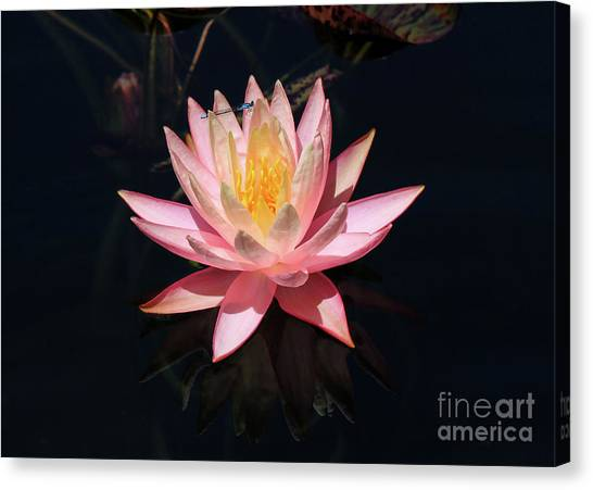 Familiar Bluet Damselfly And Lotus  Canvas Print