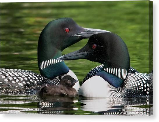 Loons Canvas Print - Family - Famille by Michel Legare