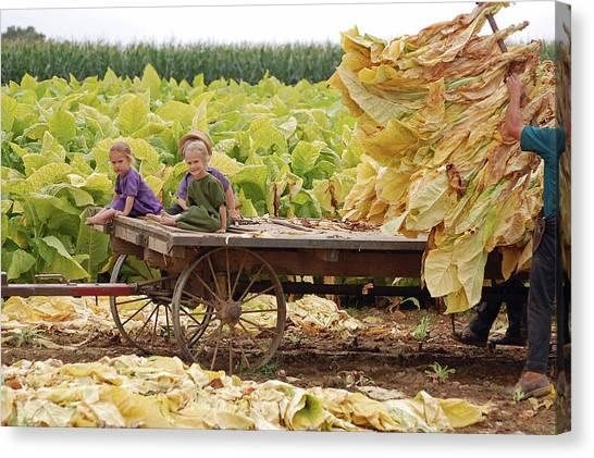 Family Tobacco Harvest Canvas Print by Joyce Huhra